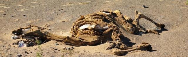 cammello morto 2