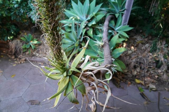 agave2019-1